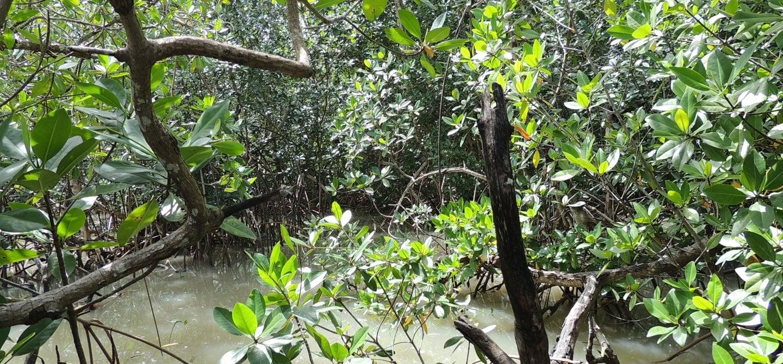 Guinea Bissau mangrovebos