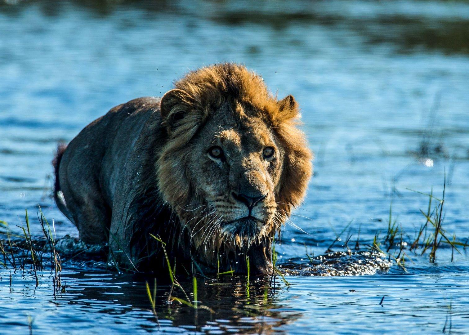 Leeuw Okavango filmstill