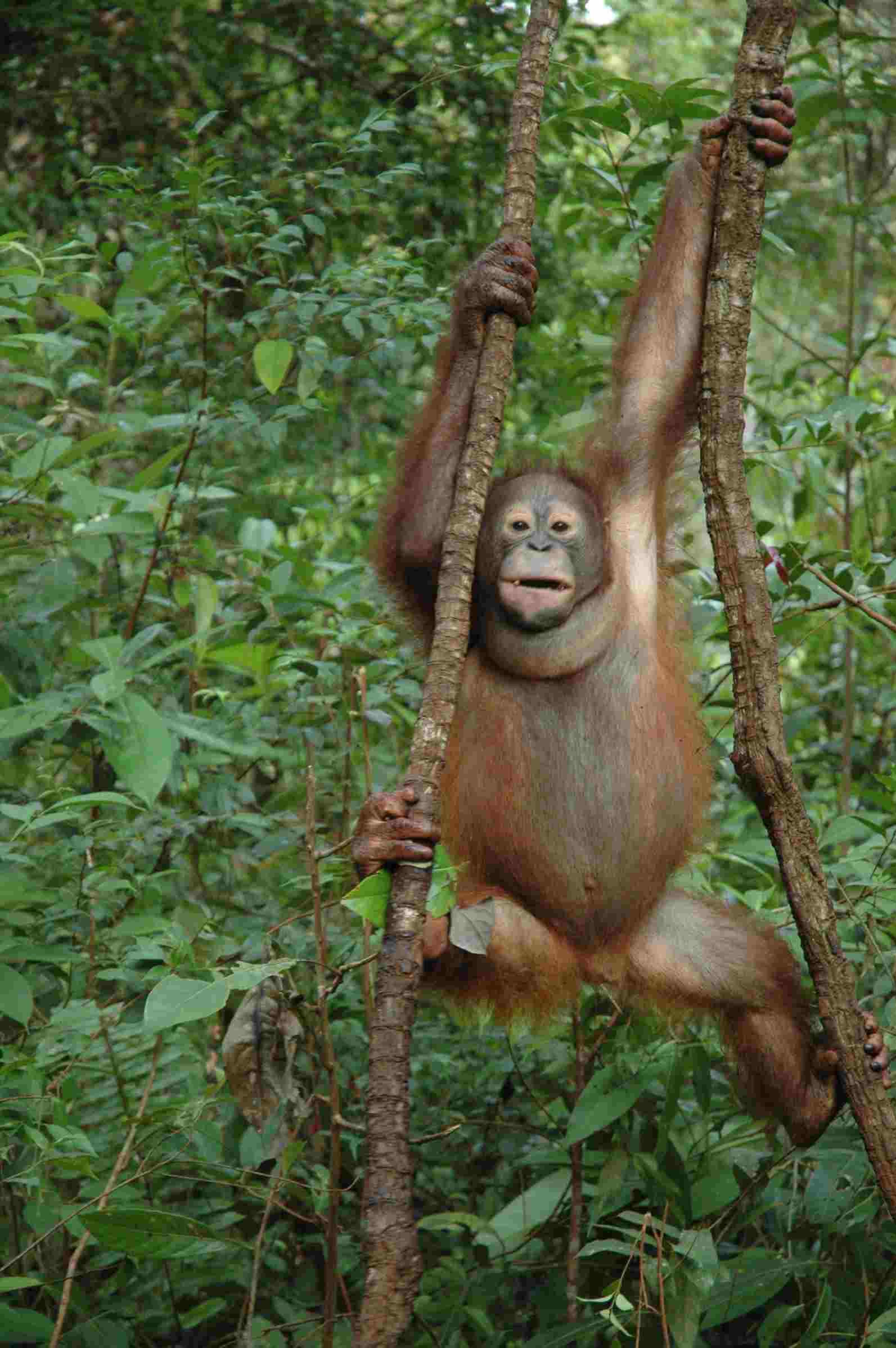 Orangutan in trees